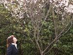 図2 いわみーる前の桜.jpg