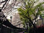 図2 音無川沿いの桜.jpg