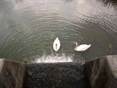 図2 多くの鳥が集う、合同庁舎のそばの川.jpg