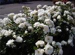 図2 白いバラとは珍しい.jpg