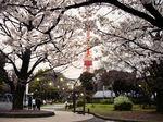 図3 桜と東京タワー.jpg