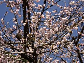 図5 津島神社の桜.jpg