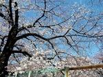●音無川沿いの桜、見事ですぞ●.jpg