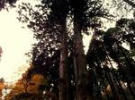 ●こちらの神社にも立派な大杉が!●.jpg
