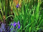 ●境内の池にはアヤメが咲いていた●.jpg