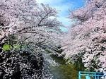 ●音無し川に垂れる桜の花●.jpg