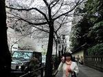●靖国通りの桜並木!●.jpg